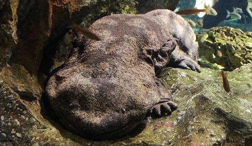 Japansk kæmpesalamander