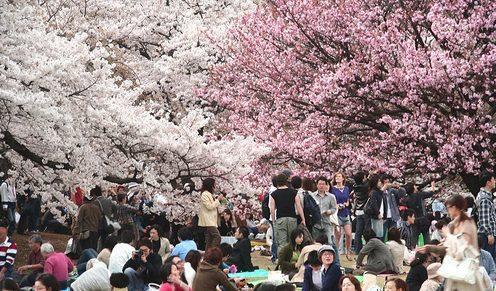 Hvornår blomstrer kirsebærtræerne i Japan?