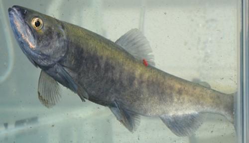 Oncorhynchus kawamurae