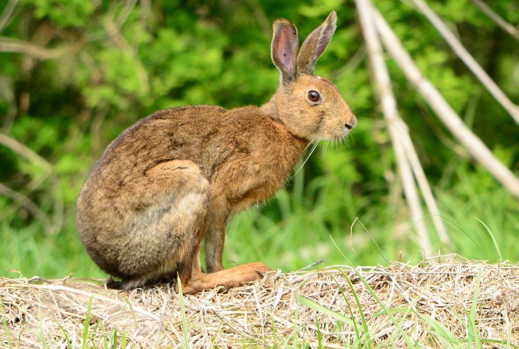 Japansk hare