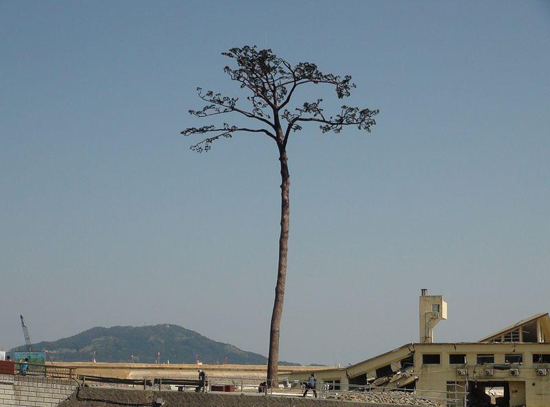 Mirakelgrantræet