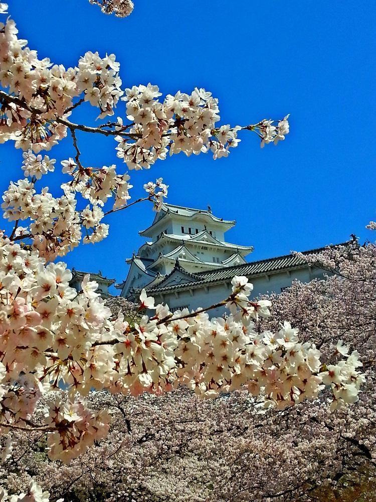 Himeji-borgen med kirsebærblomster (2015)
