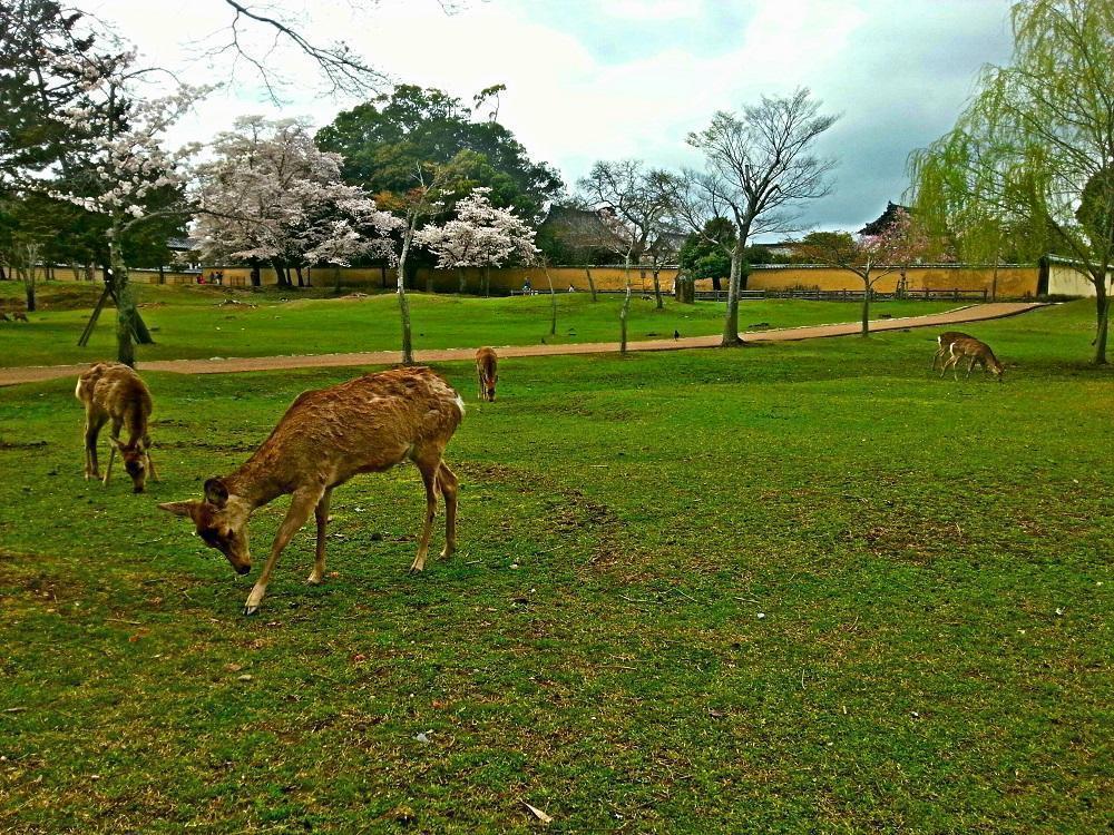 Hjorte i Nara Park (2017)