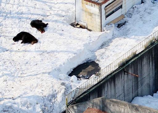 De løse bjørne i Akita Hachimantai