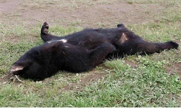 Bjørneangrebene ved Towariyama
